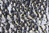 King Penguins huddled together during storm South Georgia