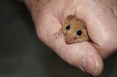 Hazel Dormouse being handled during weighing Kent UK ; Character: Alan Ford