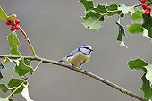Blue tit on a branch of holly France