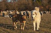 Pyrenean Mountain Dog and Mongrel Sheep 'Mérinos d'Arles' ; Pyrenean Mountain Dog dominant and dominated mongrel