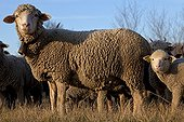 Ewe and Lamb 'Merino d'Arles' in a meadow Provence France