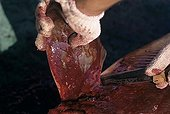 Fisherman cuts pectoral fin off Blacktip Shark Cocos Island ; 320 miles off Costa Rica