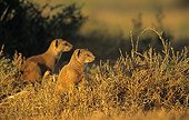 Dwarf Mongooses careful around Southern Africa