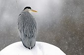 Heron on the lookout in the snow Brognard France