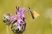 Small Skipper foraging a mountain flower France
