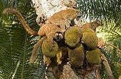 Common Brown Lemurs  feed on fruit Jackfruit Mayotte