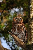 Eastern screech owl on a branch Florida USA