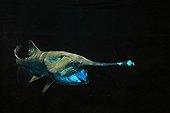 American paddlefish on balck background