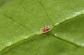 Mealybug on leaf Anthurium in Apartments France