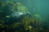 Grey seals underwater in the RN of the Seven Islands France