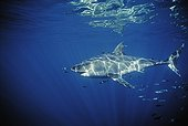 Great White Shark and Pilot Fish Guadalupe Island Mexico