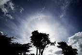 Circumscribed halo above the silhouette of a tree ; A halo of 22 ° radius is surrounded by a halo who is confined mainly at the upper tangent arc (the top of the halo of 22 °).