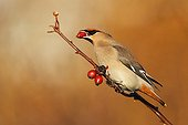 Waxwing perched in a wild roses bush in winter GB