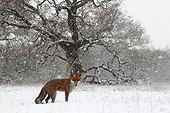 Red fox standing in a snow storm in winter GB