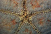 Cushion star skin texture Ailuk atoll Marshall Islands