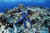 Blue Sea Star Witu Islands Archipelago Bismark