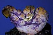 Nudibranche dans une Ascidie Iles Vitu Archipel Bismark