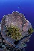 Feather Star in a Barrel Sponge Walindi Bismark Archipelago