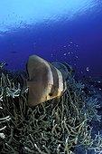 Batfish on the reef Walindi Bismark Archipelago