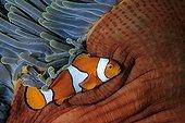 False clown Anemonefish Walindi Bismark Archipelago