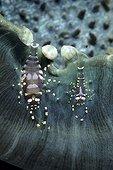 Commensal shrimps on disc anemoneWalindi Bismark Archipelago