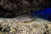 Nurse shark in reef  Yap Micronesia