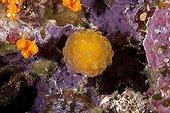 Ascidie sur le récif Iles Raja Ampat