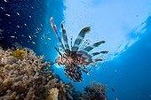 Lionfish swimming above reef Raja Ampat Islands