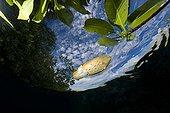 Broadclub cuttlefish and mangrove's leave Raja Ampat Islands