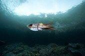 Broadclub cuttlefish under surface Raja Ampat Islands