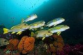 Shoal of Ribbon sweetlips above reef Raja Ampat Islands