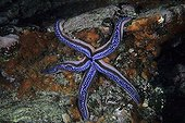 Blue Sea Star on reef Galapagos Islands Pacific Ocean