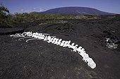 Marine mammal skeleton Fernandina island Galapagos