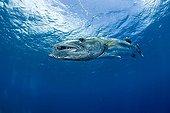 Barracuda nageant sous la surface Moorea Polynésie