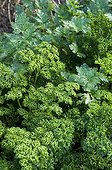 Curled parsley 'Frisado' and parsley 'Obade' in a garden