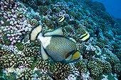 Titan triggerfish on reef  Rangiroa Tuamotu Archipelago