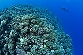 Scuba diver and reef covered with hard corals Manihi Tuamotu