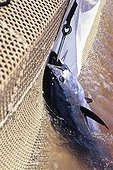 """Bluefin tuna hooked and been lifted to the boat Sardinia ; the net of the """"camera della morte"""""""