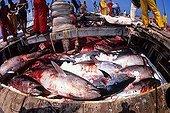 Northern Bluefin Tuna inside the fishing boat Sardinia