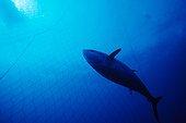 Northern Bluefin Tuna inside the tuna pens Sardinia