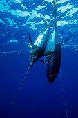 Northern Bluefin Tuna and Swordfish inside the tuna pens