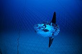 Ocean Sunfish inside the tuna pens Sardinia Tyrrhenian Sea