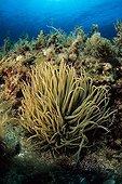 Anémone de mer verte ortique Sardaigne Mer Tyrrhénienne