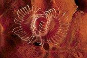 Tube worm between encrustating red sponge Tyrrhenian Sea