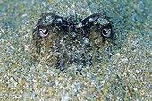 Cuttlefish camouflage under the sand Sardinia Tyrrhenian Sea