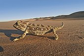 Namaqua Chameleon walking Namib Desert Namibia ; Mainly terrestrial animal that lives in the hottest, driest area of south-western Africa where it feeds on up to 200 beetles a day and drinks dew, which collects on its skin and flows in channels from its body to its mouth. Habitat consist of sandy areas of the Namib desert to scrub desert