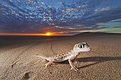 Web-footed Gecko at sunset Namib Desert Namibia ; Nocturnal animals that live mostly nestled in deep burrows where some moisture are preserved during the day. Thin, spindly legs and large webbed feet are used to dig the burrows in the coastal Namib Desert. Webbed feet also aids in running over fine sand. Large, bulb-like dark brown and red eyes with vertical pupils, lack eyelids but are covered with a transparent scale, or spectacle, which is cleaned by periodic licking.