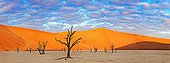 Dead Acacias Dead Vlei  Sossusvlei Namib Desert Namibia ; Water was cut off when the flow of the Tsauchab River changed its course approximately 500 years ago.