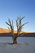 Dead Acacia Dead Vlei  Sossusvlei Namib Desert Namibia ; Water was cut off when the flow of the Tsauchab River changed its course approximately 500 years ago.
