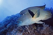 Humphead wrasse swimming over a coral reefRed Sea